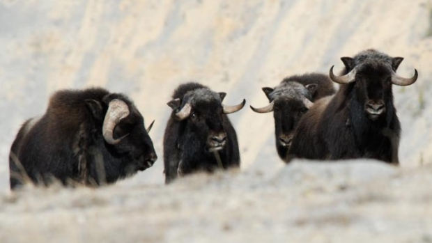 Muskox on Banks Island in the northern reaches of the NWT experience wide scale die offs.