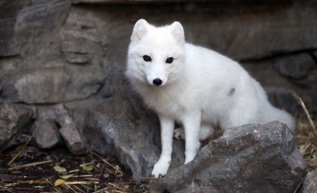 Artic warming eliminates snow and ice as foxes change fur coats based on the lenght of daylight in the fall leads to foxes going extinct