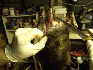 Skinning Port of Vancouver rats for the wealthy is a well paying job which will give you better life.